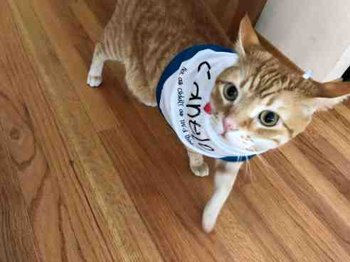 Cat walking on hardwood floor with bandana around his neck. His ears are flicked back and his eyes a little wild. But spine fur is flat.