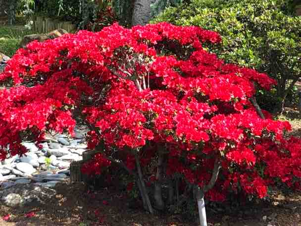 Red bush in a California garden in springtime.