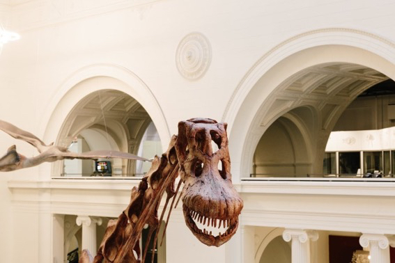 Photo from the Field Museum of the head of Maximo the titanosaur. A pterodactyl is hanging from the ceiling behind him.