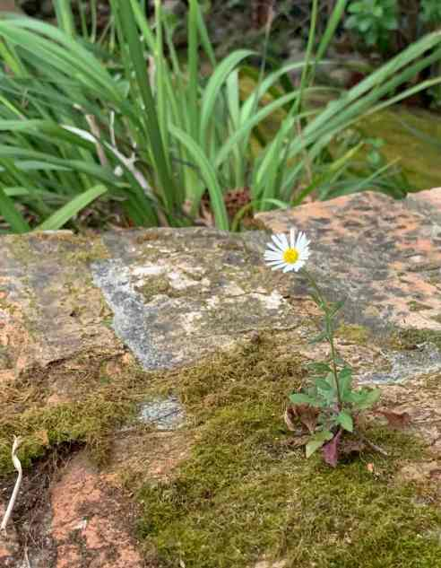A tiny daisy-like flower pokes out of a brick wall.