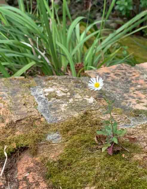 A tiny daisy-like flower pokes out of a brick wall.