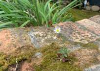 A small white daisy-like flower pokes up out of a patch of moss on a brick wall.