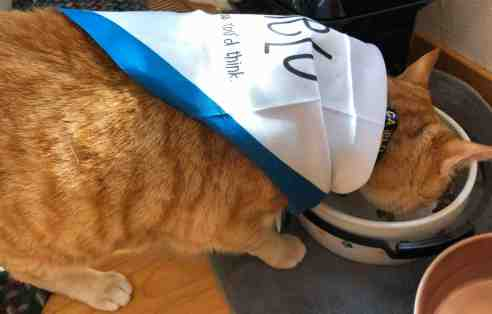 Cat in the bandana eating out of his food bowl.