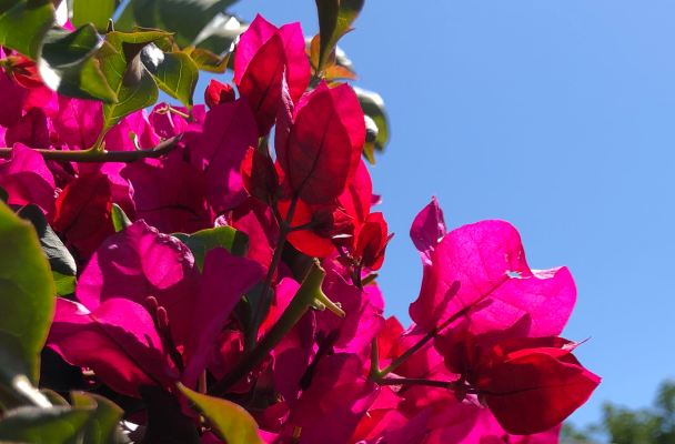 Closeup of the dark pink bougainvillea against a clear blue sky