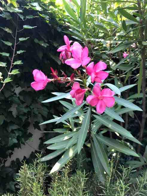 Oleanders have bright, dark pink flowers, long, sword-shaped dark green leaves.