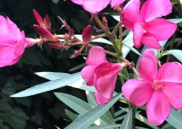 close-up of the oleander's pink flowers