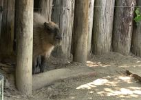 A capybara stands under his wooden shelter. Capybara's are the world's largest rodent.