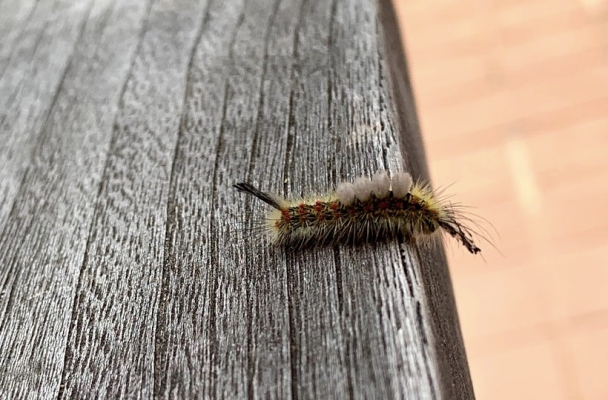 View of the tussock moth caterpillar from the side.