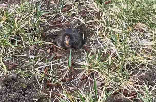 My daughter took this picture of the rodent digging up our yard. It shows his face and his very long, very yellow, and pretty snarly teeth.