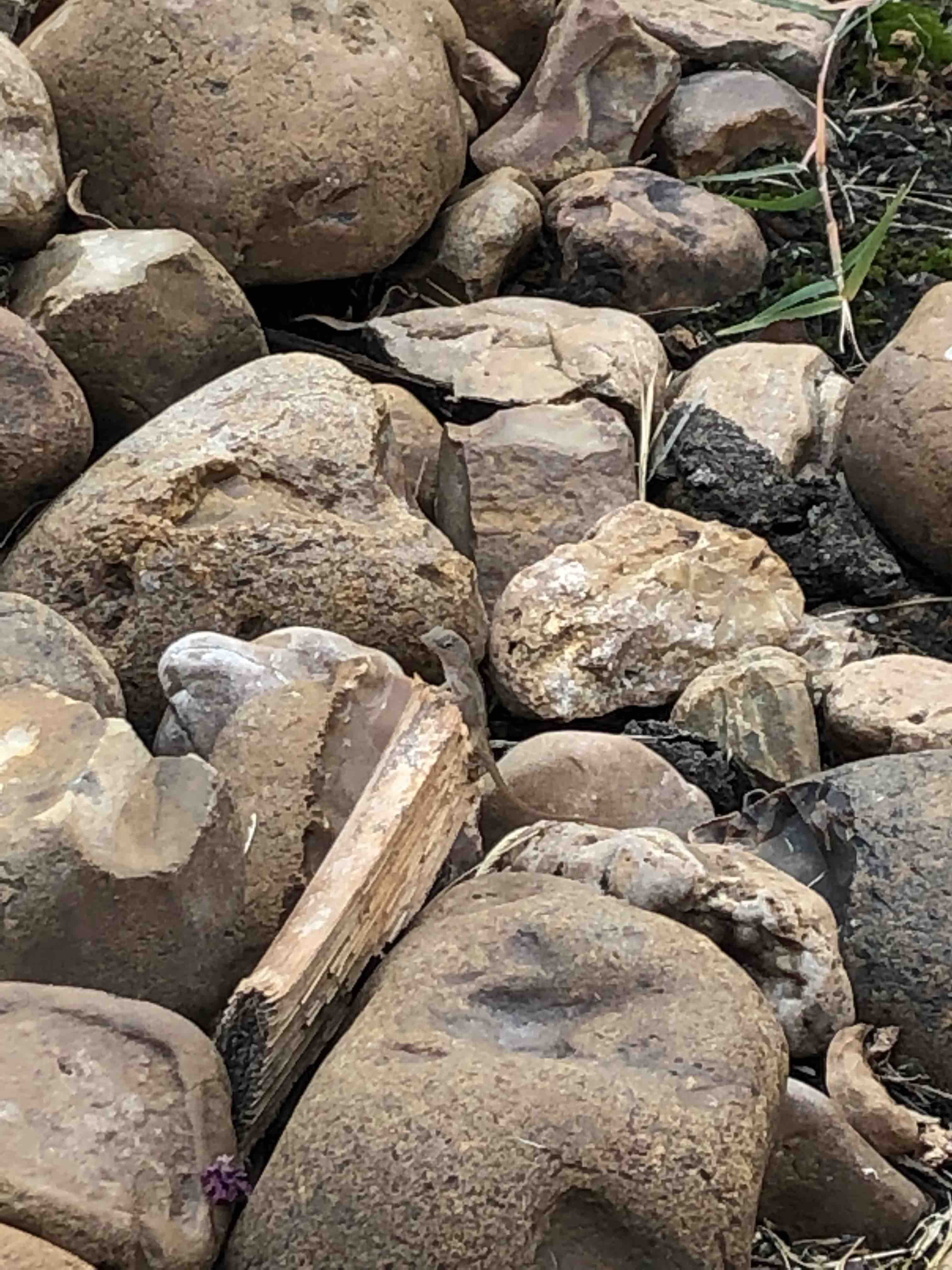 A very tiny lizard suns himself on some much larger rocks.