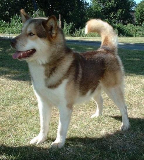 A Greenland dog looks a lot like a Siberian husky to me.