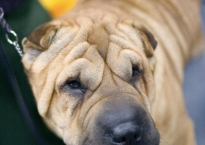Shar Pei dogs have dense but loose folds of skin all over their short-haired bodies.