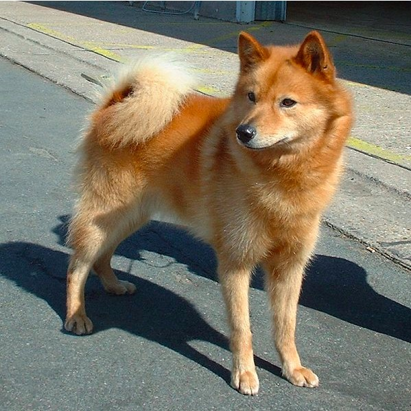 This Finnish Spitz has reddish brown fur, a long-haired curly blonde tail draped over his back, sharp pointed ears, and looks overall like a cross between a fox and a dog.
