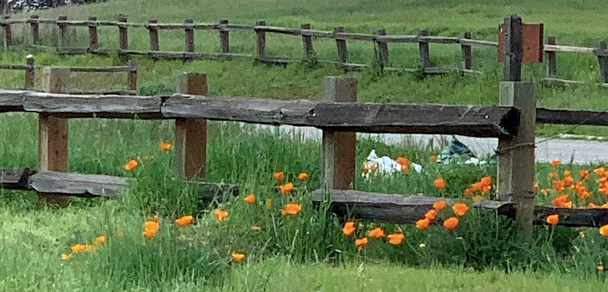 poppies along a wooden fence