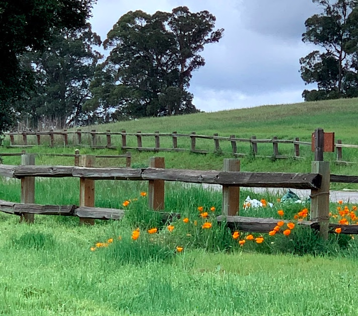 Photo shows a spray of orange poppies along the bottom of an old wooden picket fence.