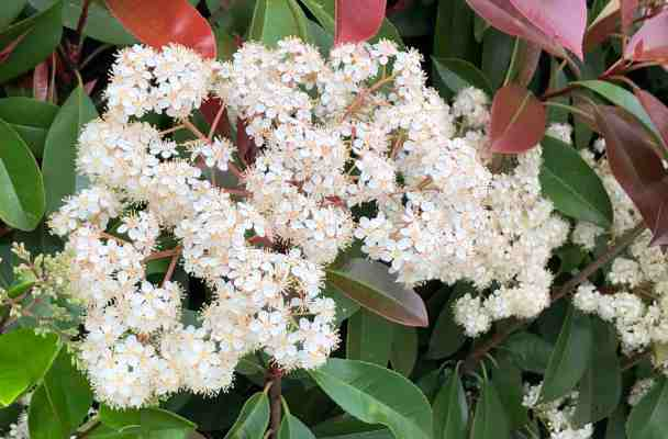 flowering bush with red and green leaves and large clusters of tiny white flowers