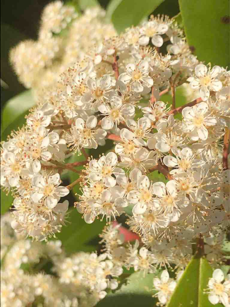 Closeup of a bush with huge clusters of tiny white flowers.