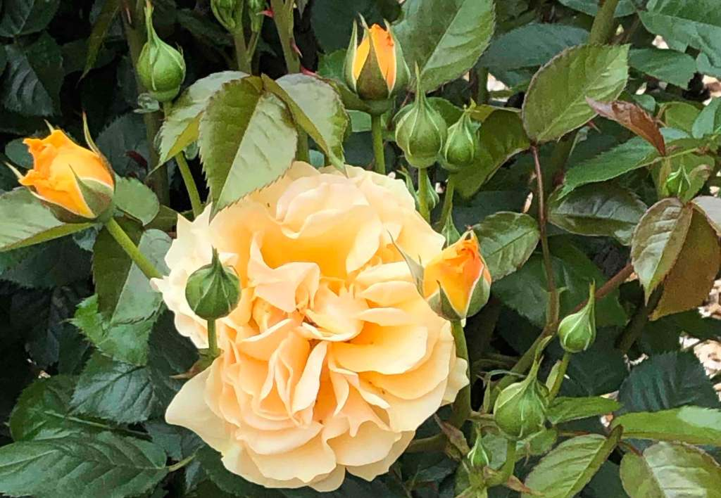 pale orange rose surrounded by green leaves