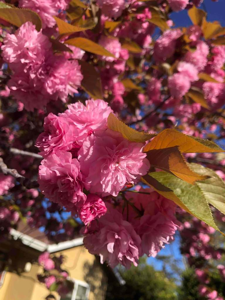 Close up of a cluster of pink flowers in a tree.