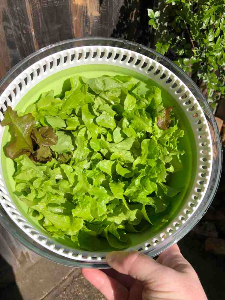 Photo shows a colander full of freshly picked lettuce. Mmmmm.... lettuce.