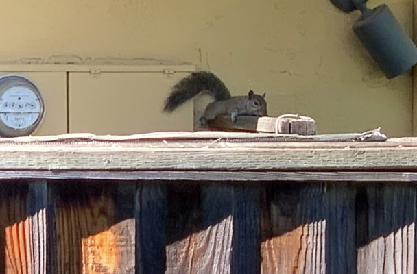 squirrel lying on top of a fence