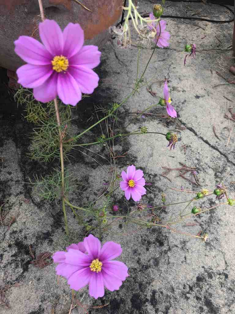 The purple flowers falling over the side of a clay pot stand out against the grey concrete.