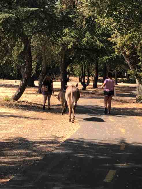 Two women walk donkeys on a leash down a nature trail in Northern California