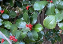 Closeup of an evergreen bush with small red berries.