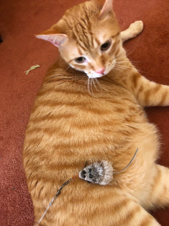 Canelo lying on his side just looking at the mouse toy lying on his belly. There isn't enough an ounce of pouncy-ness. Or interest.