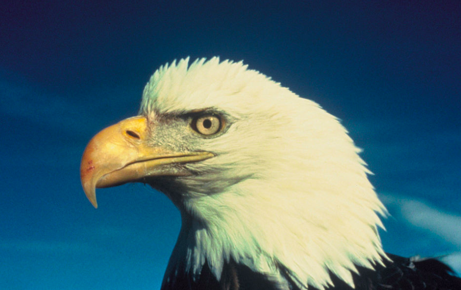 Portrait of an American bald eagle against a blue sky